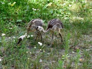 Mláďata nandua se vylíhla v den řádění tornáda, v Zoo Hodonín jde o prvoodchov
