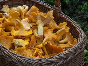 Houby porostou do několika dnů, předpovídá odborník z brněnské houbařské poradny