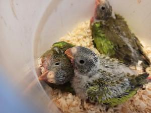 Zoo Brno slaví nejúspěšnější odchov papoušků za poslední dekádu
