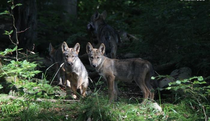 Do Beskyd se vrátili vlci, potvrdili odborníci z Brna