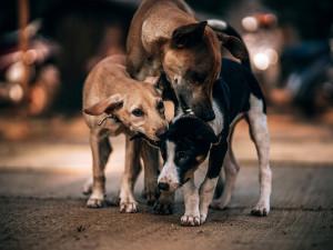 Volně pobíhající psi zabili teriéra jihomoravského důchodce