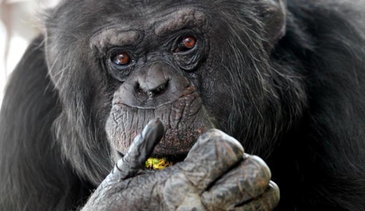 Šimpanzí skupina ze Zoo Brno najde náhradní domov v Hodoníně