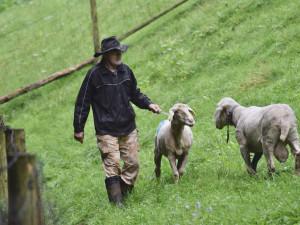 Jihomoravský bača chová ovce čtyřicet let, stará se o vzácné plemeno z Alp
