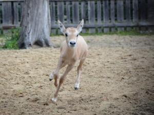 Na jižní Moravě se narodila vzácná arabská antilopa